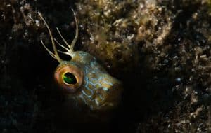 PADI Course Director - Tenerife  goby 300x190 - goby