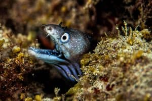 PADI Course Director - Tenerife  moray 1 300x200 - Mi galeria submarina