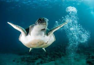 PADI Course Director - Tenerife  turtle 300x207 - turtle